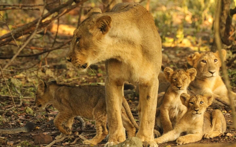 lion-at-sasan-gir