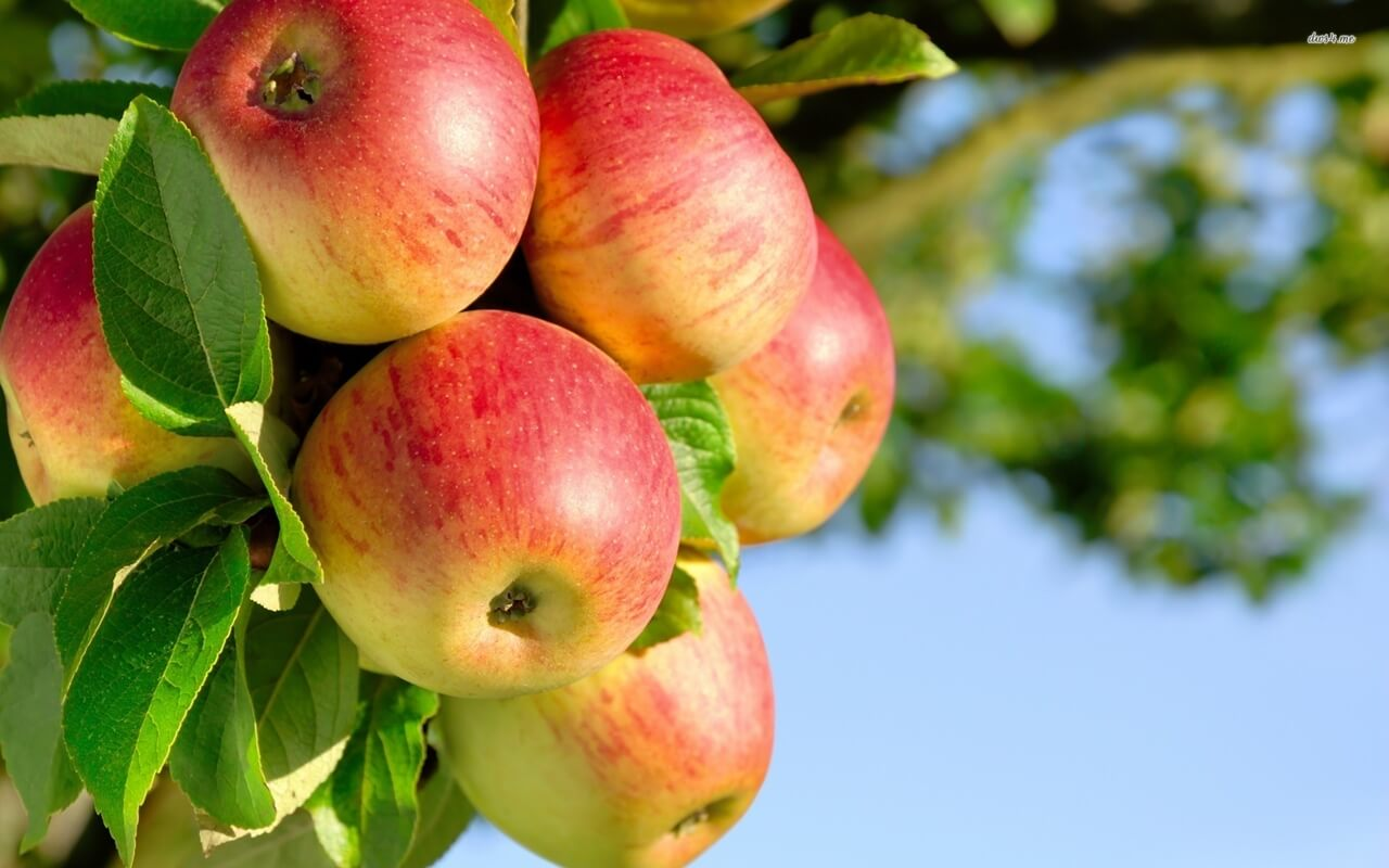 apples-on-tree