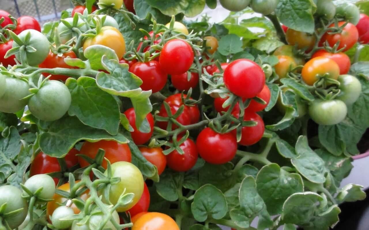 tomato-in-farm