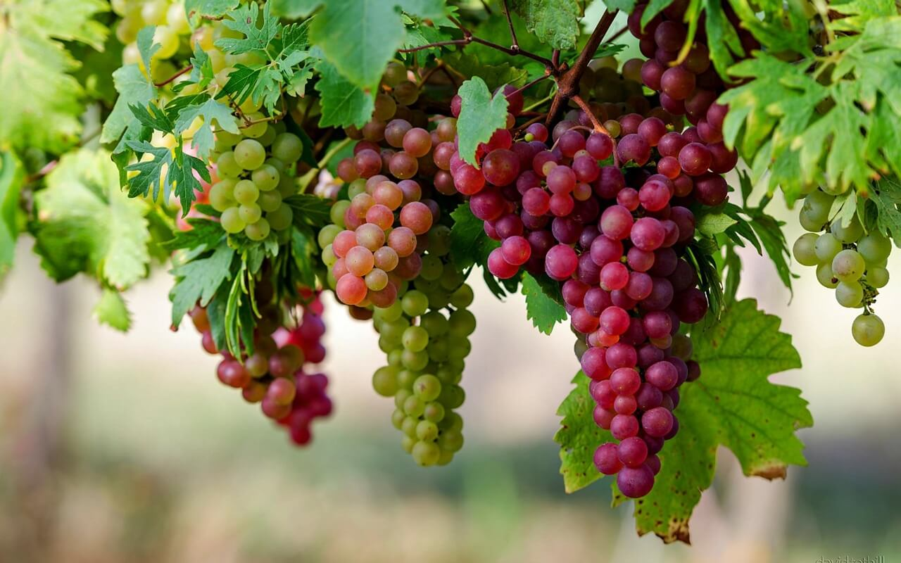 grapes A fruits to eat this summer