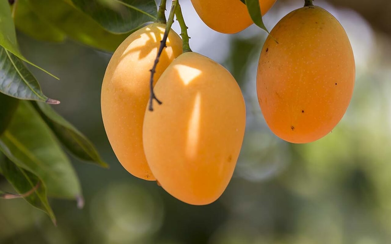 mango A fruits to eat this summer